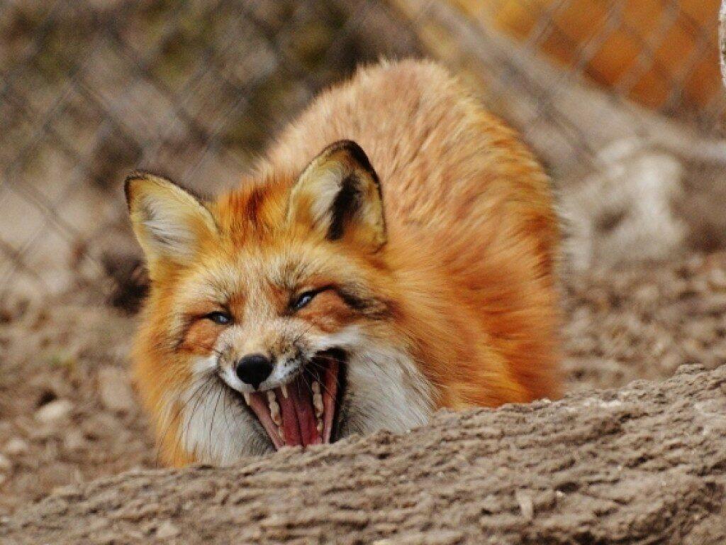 Осторожно, бешенство: в Кировской области обнаружена зараженная лисица