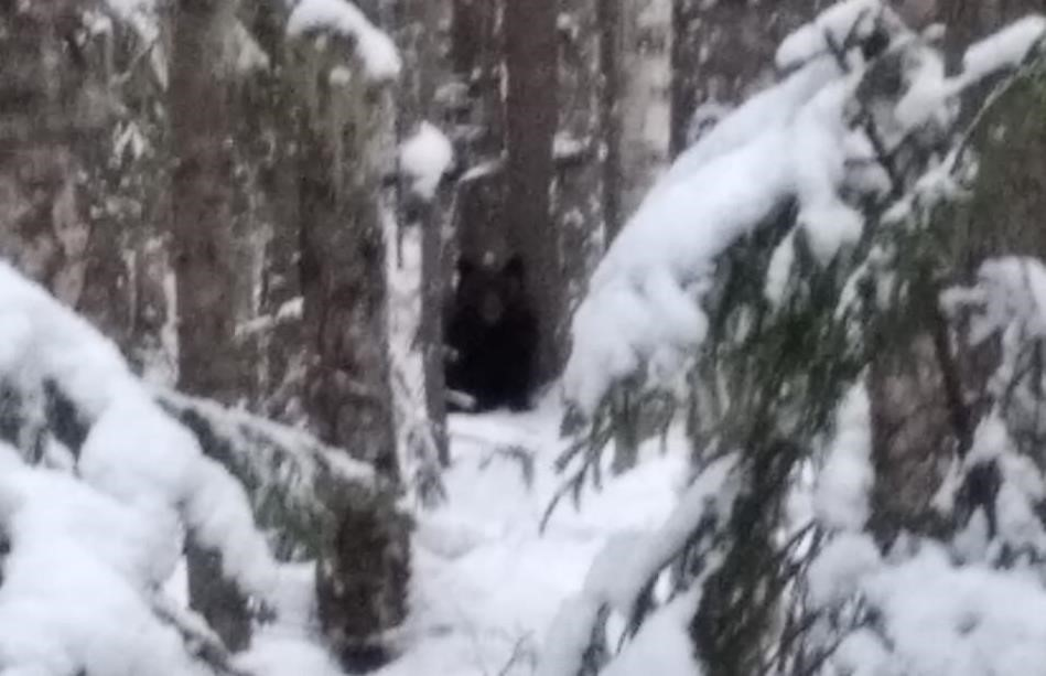 Зима закончилась: в Подосиновском районе пробудился от спячки медведь