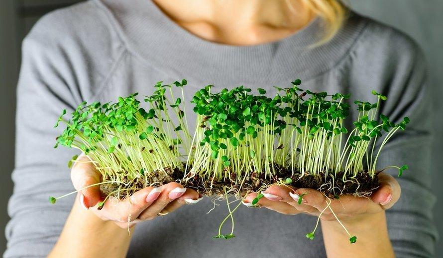 Какую микрозелень можно вырастить на подоконнике