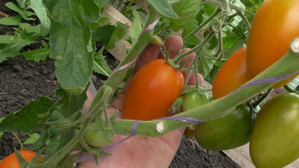 Топ 10 желтых неприхотливых томатов